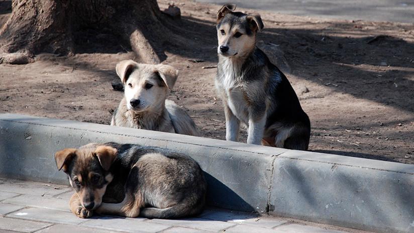 Cuatro perros custodian fielmente en una calle el cuerpo de su amigo atropellado (VIDEO)