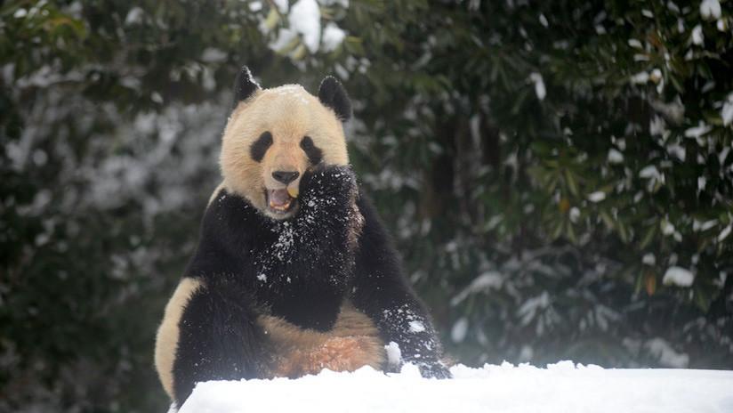 La incontenible alegría de los osos panda tras una nevada en China (IMÁGENES ADORABLES)
