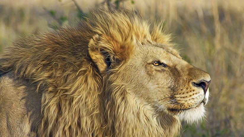"""""""Un verdadero caballero"""": Video de un león que 'besa' la pata de un perro se vuelve viral"""