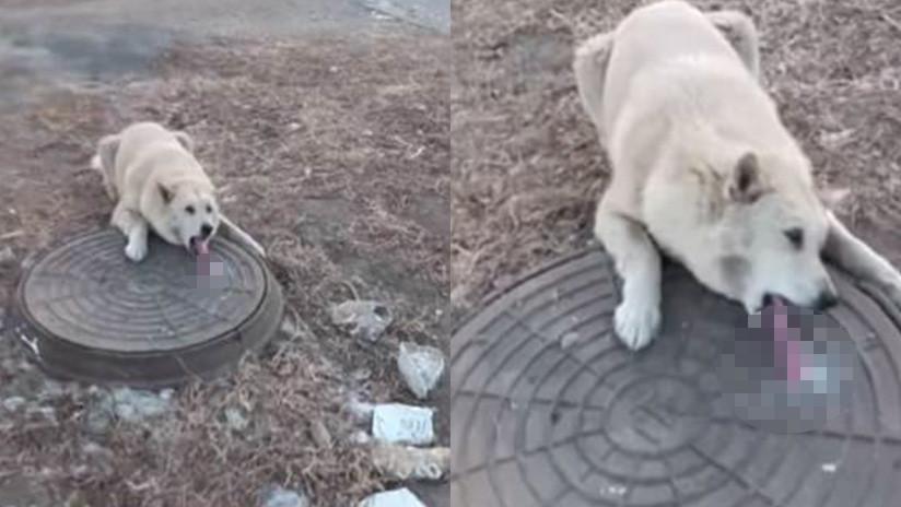 Un perro es rescatado luego que la lengua se le quedara pegada en una coladera (VIDEO)