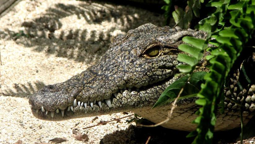 """La especie de cocodrilos """"mutantes"""" subterráneos que alerta a los científicos (FOTOS)"""