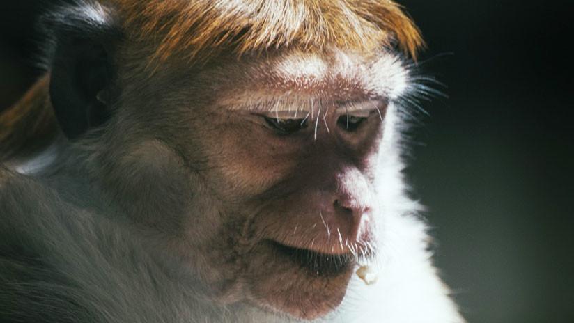 Un híbrido humano y chimpancé habría nacido en un laboratorio de EE.UU.