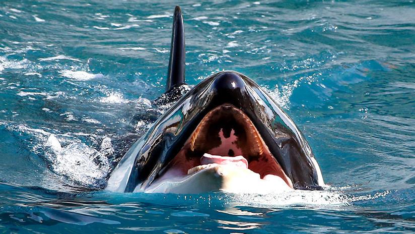 Las orcas aprenden a imitar la voz humana, pronunciar palabras y les sale gracioso (VIDEO)