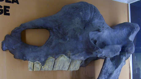 Calavera de Elasmotherium sibiricum ehxibida en el Museo de Historia Natural de Berlín, Alemania.