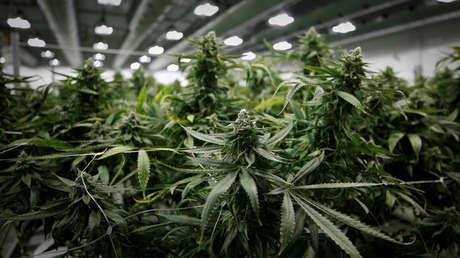 Las plantas de marihuana en la fábrica de Canopy Growth Corporation en Smiths Falls, Ontario, Canadá, el 4 de enero de 2018.