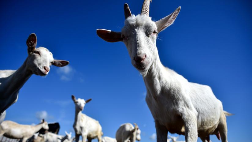 Este acertijo para escolares sobre ovejas y cabras deja desconcertados a los internautas