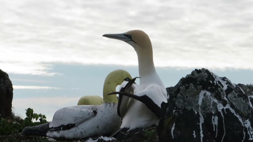 Muere en Nueva Zelanda el ave más solitaria del mundo, enamorada de una estatua (VIDEO)