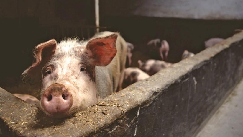 Escándalo en una granja española: Cerdos maltratados y enfermos para consumo humano (VIDEOS)