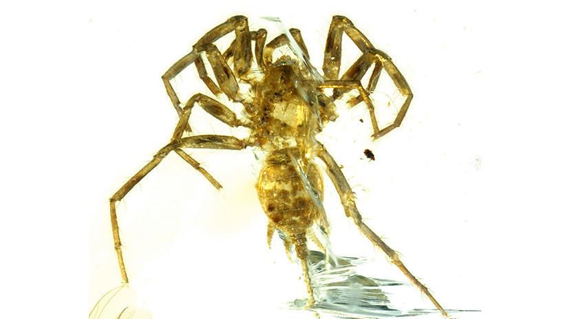 Descubren araña de 100 millones de años en un fragmento de ámbar