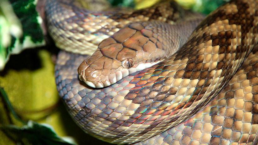 FOTO: El inesperado final del duelo entre una pitón y una cobra