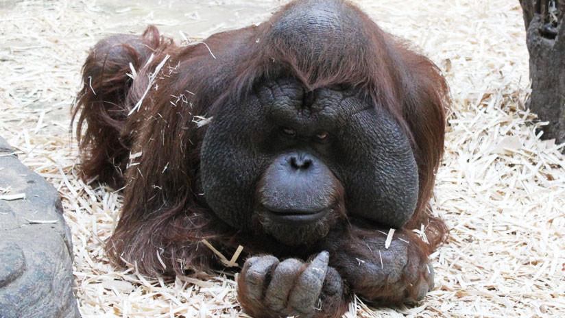 FOTOS SENSIBLES: Orangután muere tras recibir 130 tiros y numerosas puñaladas en Indonesia