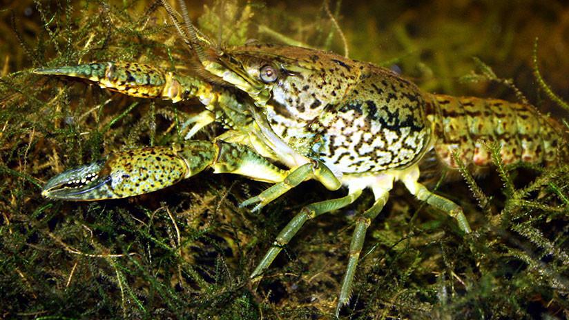 Cangrejos hembra que se clonan sin necesidad de machos amenazan con 'colonizar' el mundo