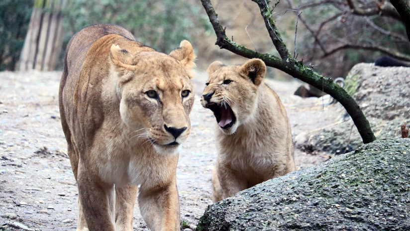 VIDEO: Dos leonas atrapan a un buitre ante el horror de los visitantes de un zoo