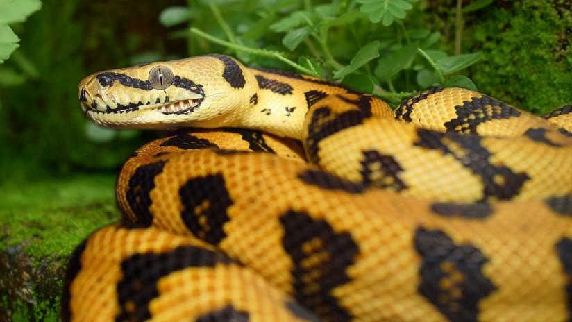 Nigeria: Acusan a una serpiente de comerse 100.000 dólares