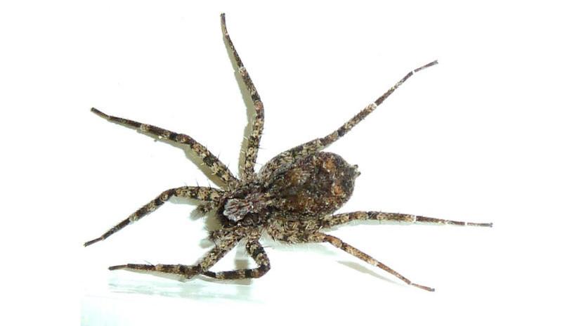 """Las arañas planas cazan """"en un abrir y cerrar de ojos"""" (VIDEO)"""