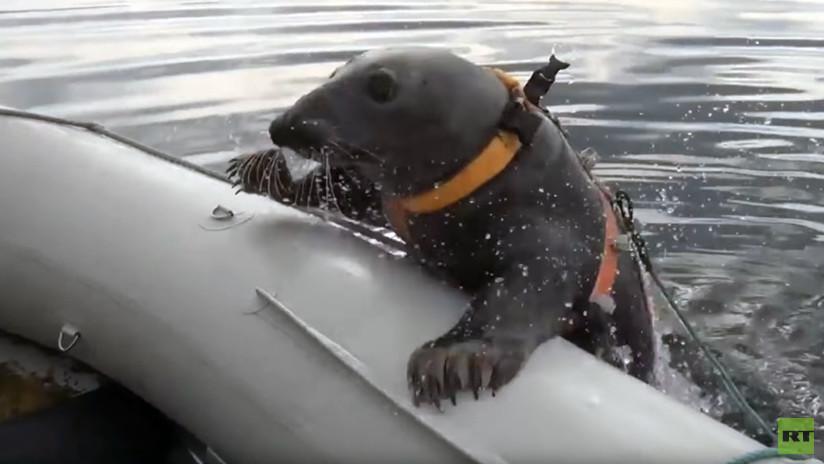 VIDEO: Una foca marina realiza ejercicios militares en el norte de Rusia