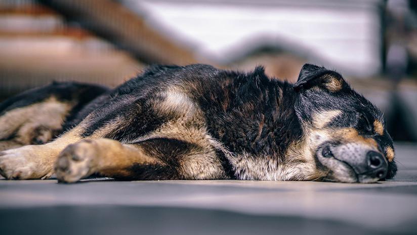 Muere en Argentina un perro que veló la tumba de su amo por más de una década