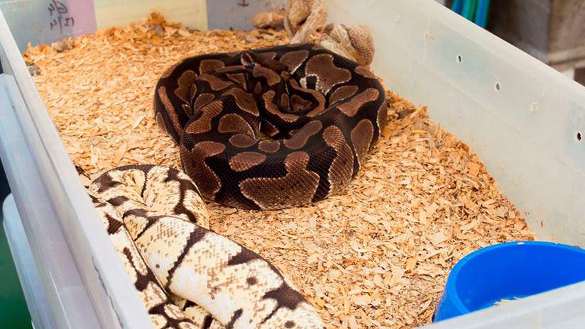 Argentina: Incautan 219 serpientes en un departamento de Buenos Aires (FOTOS)