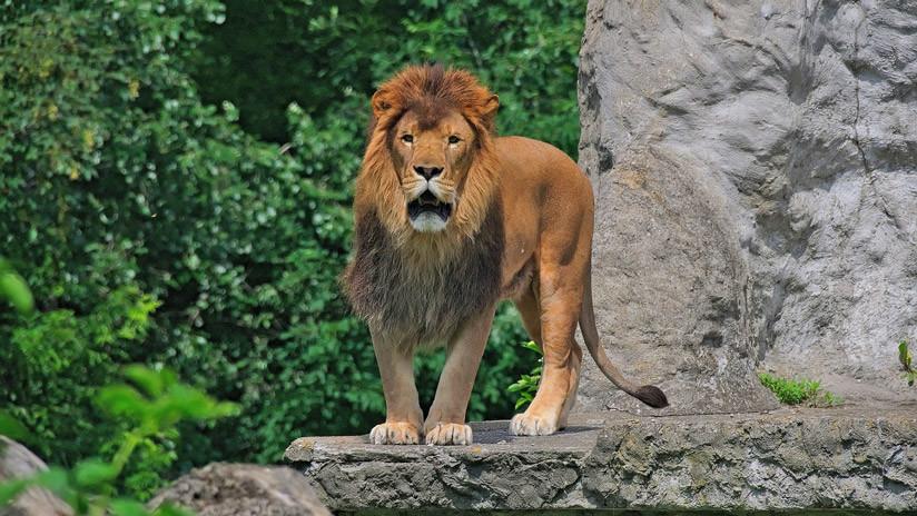 VIDEO: Un hombre salta al recinto de una leona en un zoo y se juega la vida