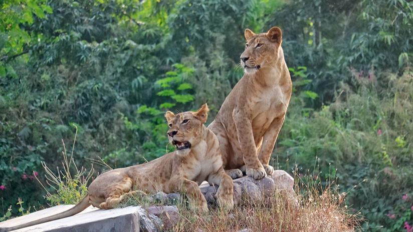 VIDEO: El aterrador momento en que unos leones atacan el auto de una familia en un parque safari