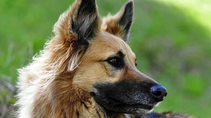 Perro recibe disparos para salvar a su dueño