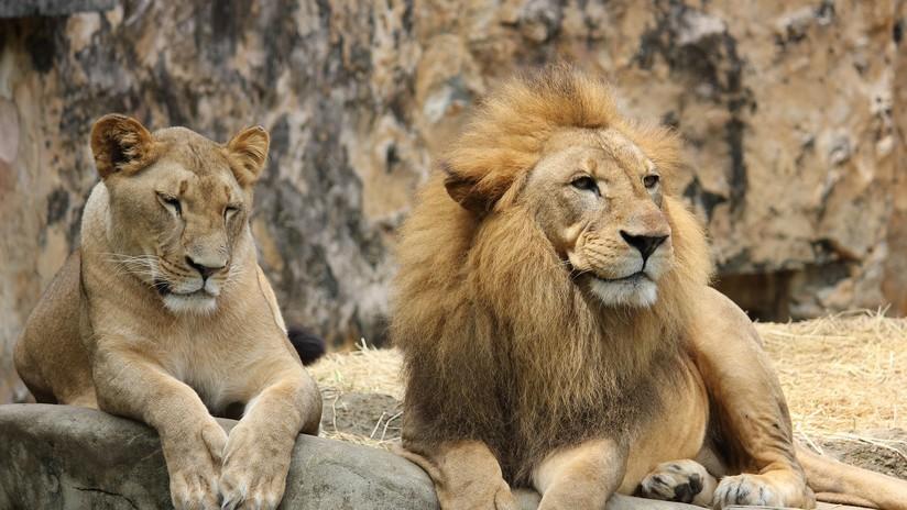 FOTO: A una la leona de 18 años le crece una melena 'a lo macho'