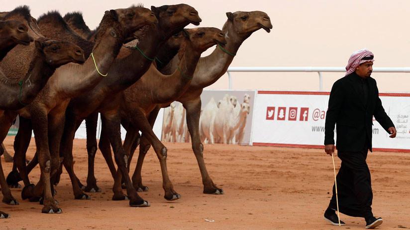 Multan a los dueños que inyectaron bótox a sus camellos en un concurso de belleza saudita