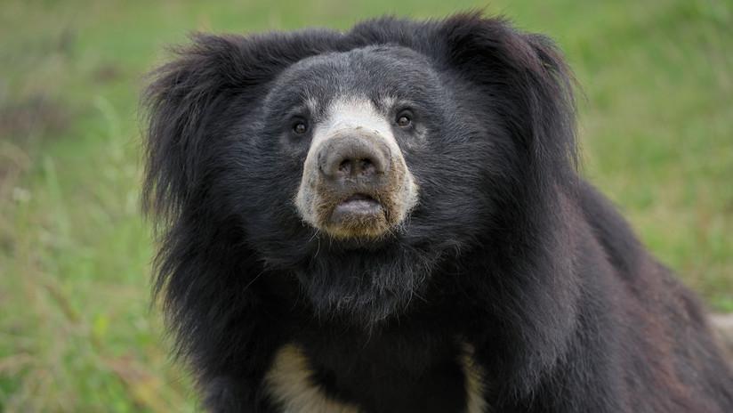 Un oso salvaje recorre una ciudad india durante 7 horas y hiere a varias personas