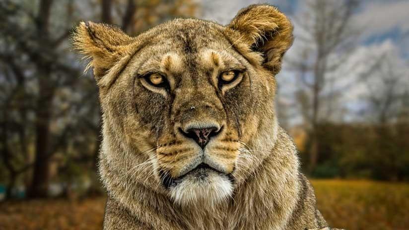 Una leona mutila hasta la muerte a una mujer en un santuario de Sudáfrica