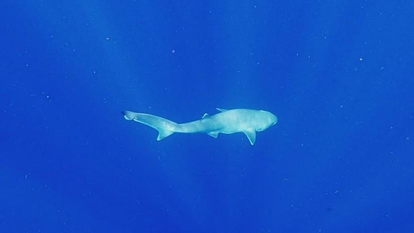 'Con la boca abierta': Científicos realizan sorprendente hallazgo sobre los tiburones