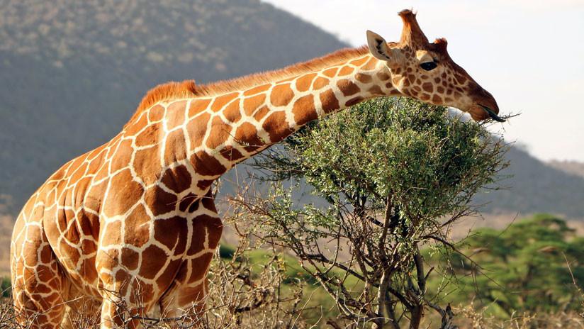 Una jirafa resiste el ataque de un cocodrilo y muere devorada por leones (VIDEO)