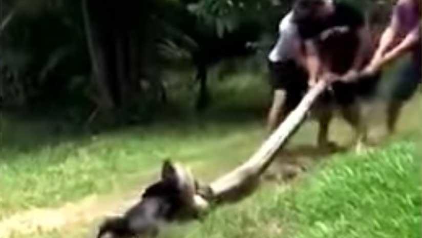 El dramático rescate de un perro al que una anaconda arrastró hasta un río para comérselo (VIDEO)