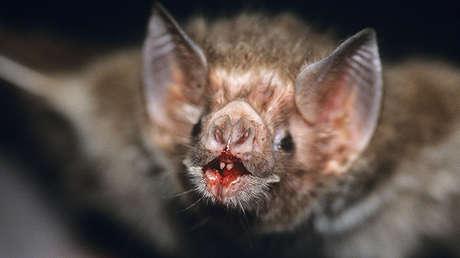 Un murciélago vampiro común