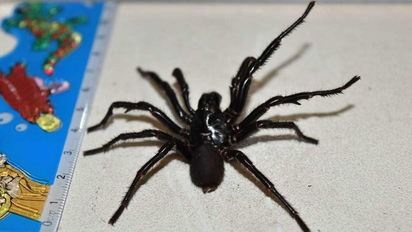 VIDEO IMPACTANTE: Conozca a Colossus, la araña venenosa más grande de Australia