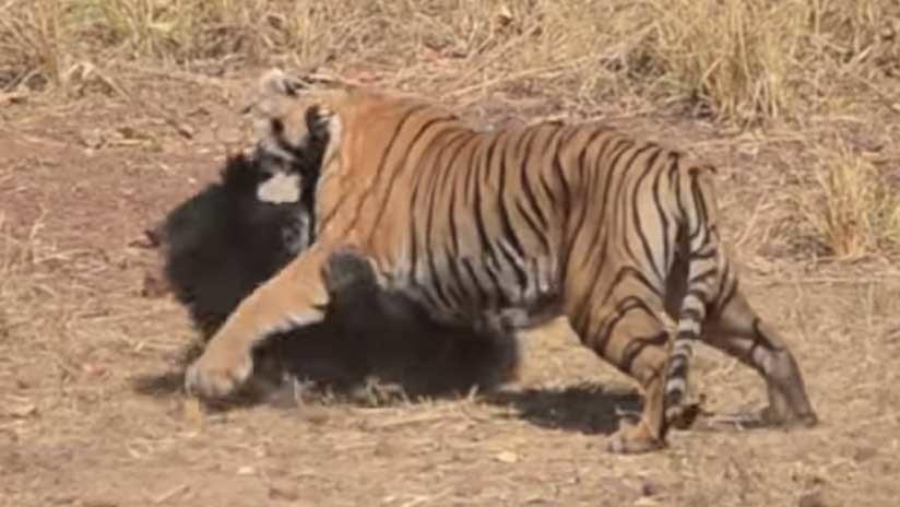 Publican video de la encarnizada pelea de un tigre con una osa