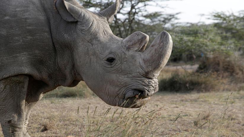 El último rinoceronte blanco del norte, vigilado con armas las 24 horas, está al borde de la muerte