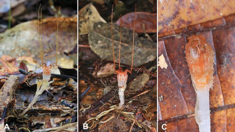 """Un grupo de científicos redescubre una """"mítica"""" planta parásita"""