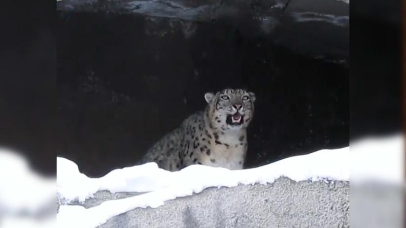 VIDEO: Un leopardo de las nieves 'llama' a la primavera en Moscú