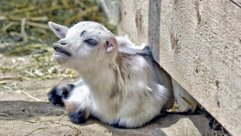 Foto: Un granjero salva a un cordero recién nacido metiéndolo en un horno