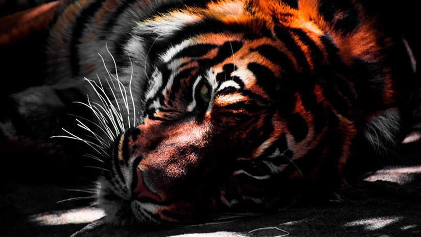 FUERTES IMÁGENES: Masacran a un tigre tras confundirlo con un animal mitológico que cambia de formas