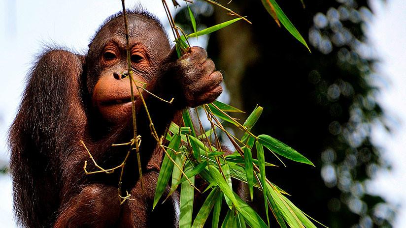 VIDEO: Un orangután fumador causa controversia en las redes sociales