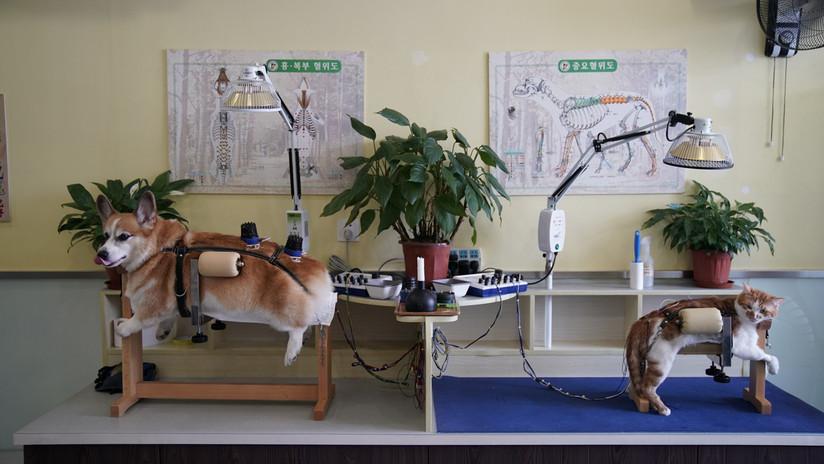 ¿Su mascota se enfermó? China responde con la acupuntura para los gatos y perros