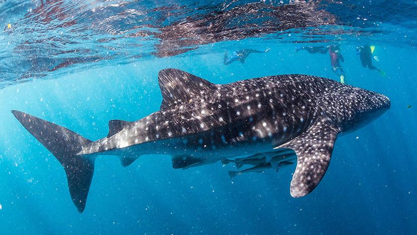 IMAGEN ESPECTACULAR: Un tiburón ballena acecha a un barco de turistas en Australia