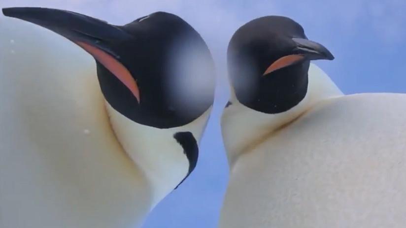 VIDEO: Dos curiosos pingüinos de la Antártida hallan una cámara y se hacen un gracioso selfie