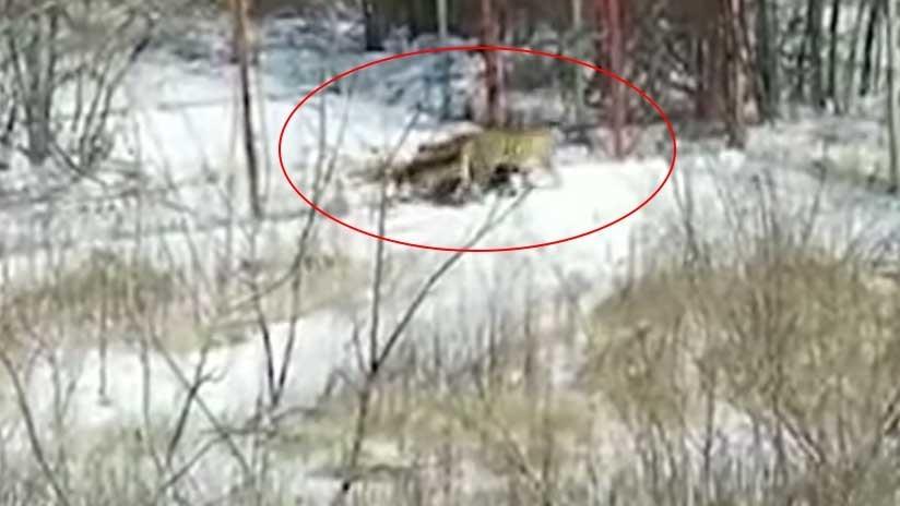 Una tigresa aterroriza una aldea rusa (VIDEO)