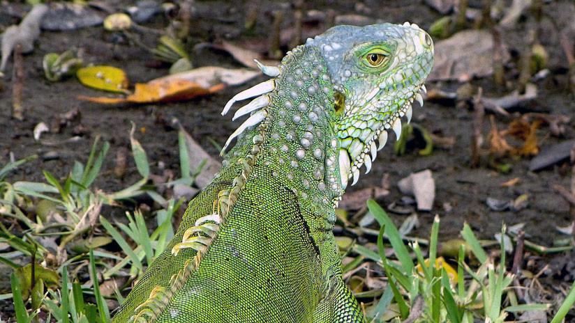 """""""Una eutanasia más humana"""": En EE.UU. matan a las iguanas destrozándoles el cráneo"""