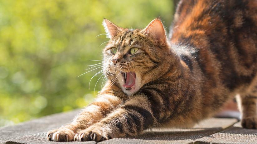 FOTOS: La última moda en Japón, fotografiar gatos estirados al máximo y publicarlo en la Red
