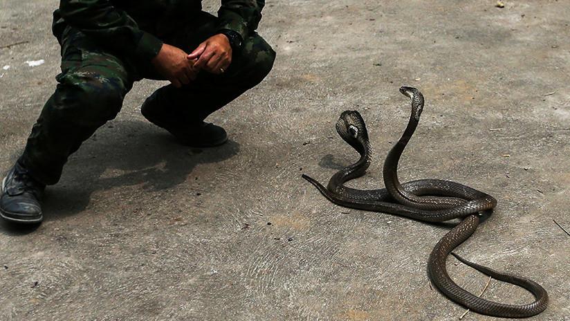 Muere un famoso domador de serpientes intentando capturar una cobra