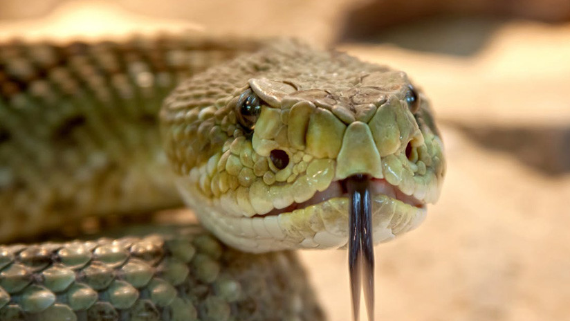 VIDEO: Una serpiente tragándose a sí misma desconcierta a la Red