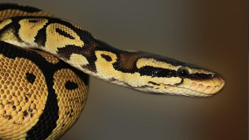 Descubren serpiente con dos cabezas en Florida